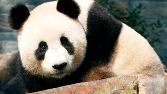 glenelg-panda2